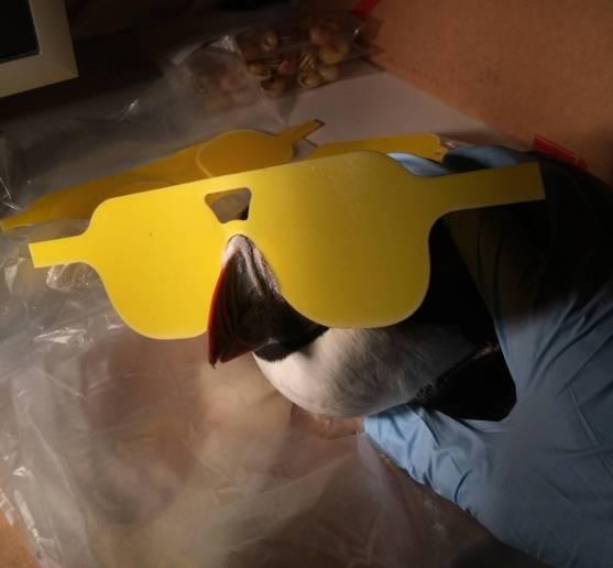Estas seían la gafas que de manera divertida ha diseñado el autor para comprobar si el pico es fluorescente en ejemplares vivos ©Jamie Dunning vía CBC