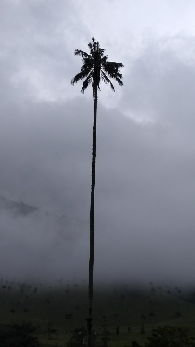Colombia wax palm