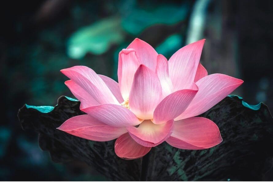Fleur de Lotus Signification et Symbole