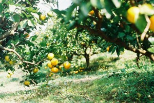 Italy Lemon Orhards