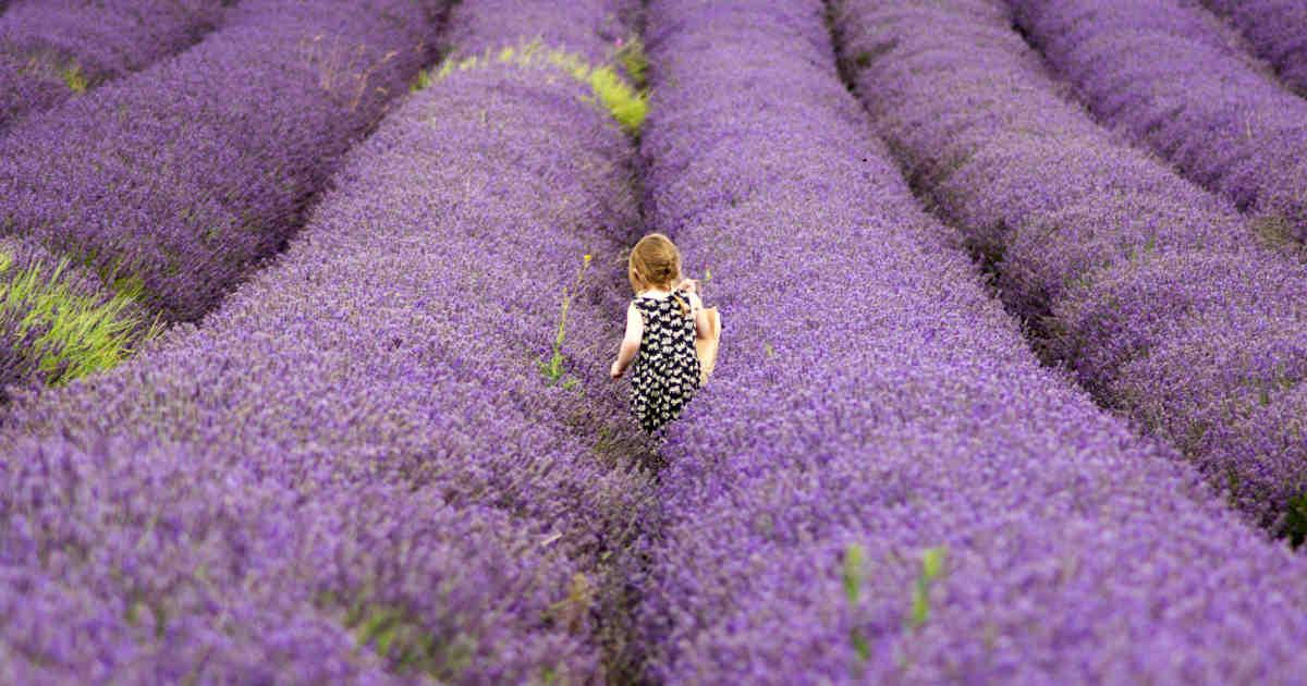 Bambina in un campo di lavanda fiorita