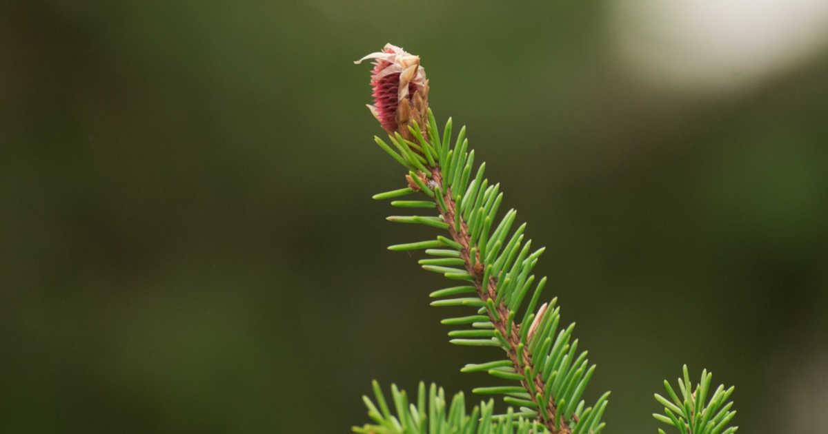 Ramo di una pianta evergreen