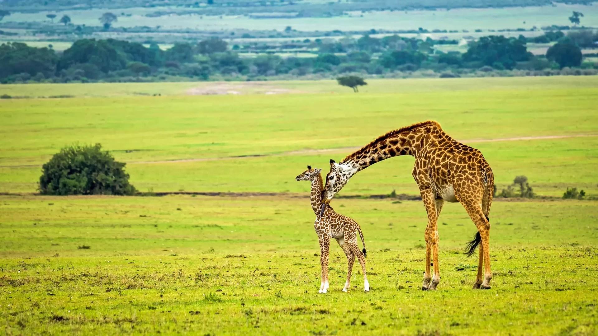 40 Unusual Giraffe Facts