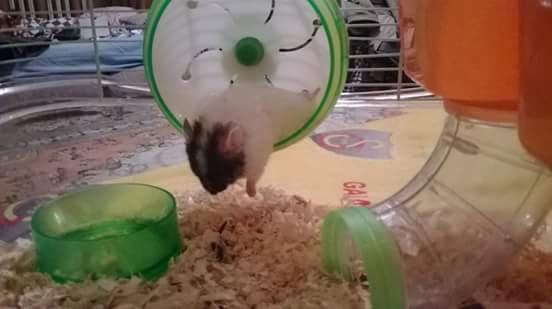 Zibidi Gonzales Hamstergit İlk Hamster'ım :)