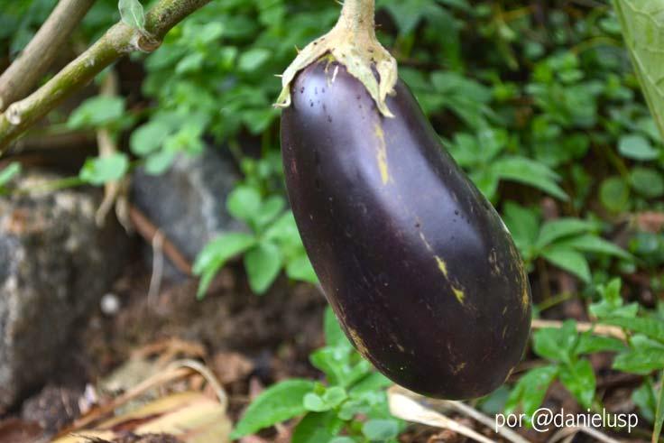 Detalhe de uma berinjela, cultivada na Horta das Corujas