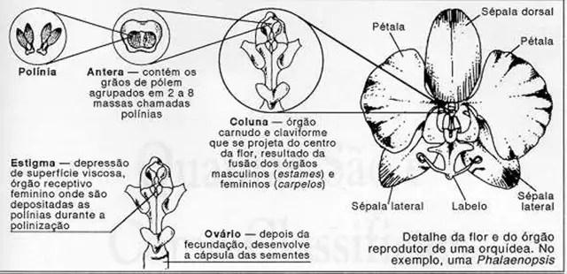 polinea da orquideas 001