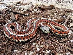 serpiente anaranjada
