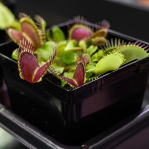 5 SEEDS OF DIONAEA MUSCIPULA GIANT FORMAT