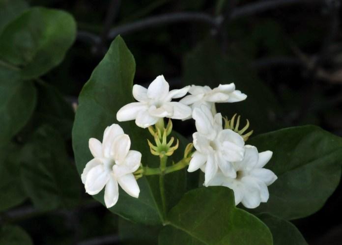 Tanaman Hias bunga melati putih