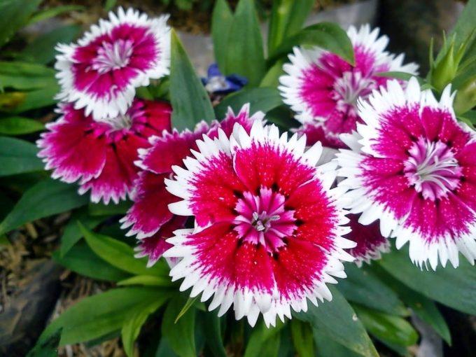 Tanaman hias bunga anyelir