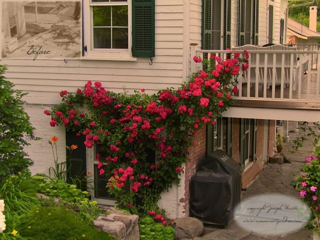 Tanaman hias bunga mawar blaze roses