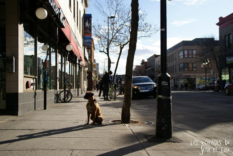 blog voyage canada montreal chien attend mignon