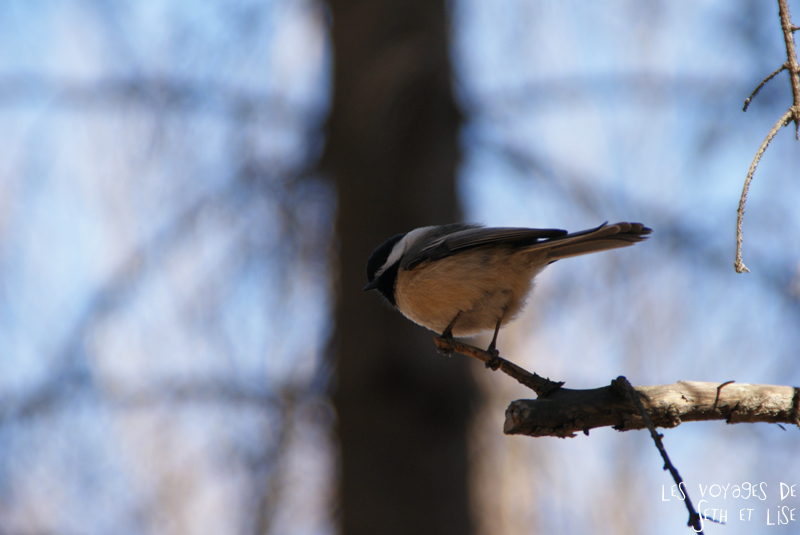 blog voyage canada montreal oiseau mont royal