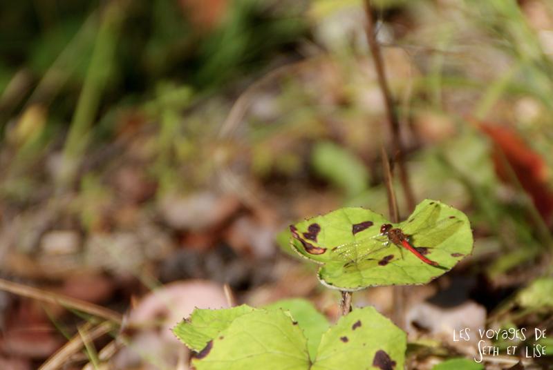 blog pvt canada pvtiste quebec mont orford parc photgraphie voyage couple ete indien summer indian couleur colors nature tour du monde libellule