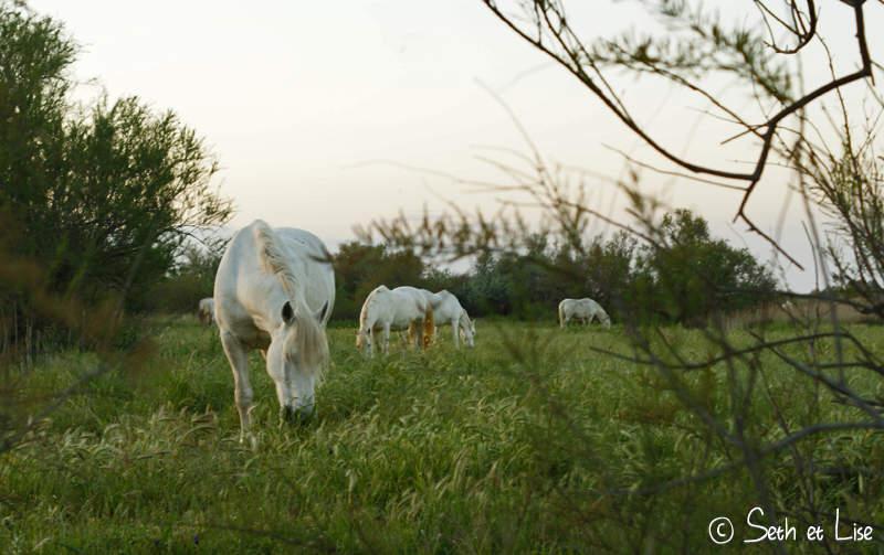 chevaux camargue