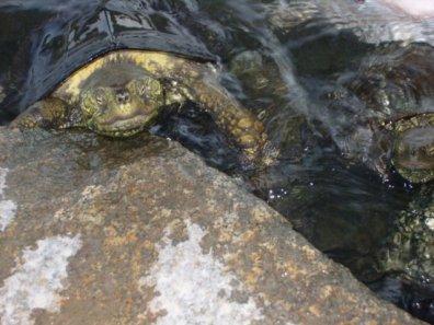 Turtle in Ritsurin Park