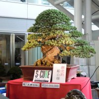 The Most Expensive Bonsai in the World?