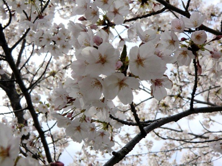 Sakura 8