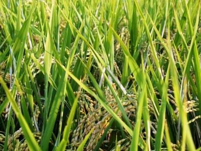Ripening Rice 6