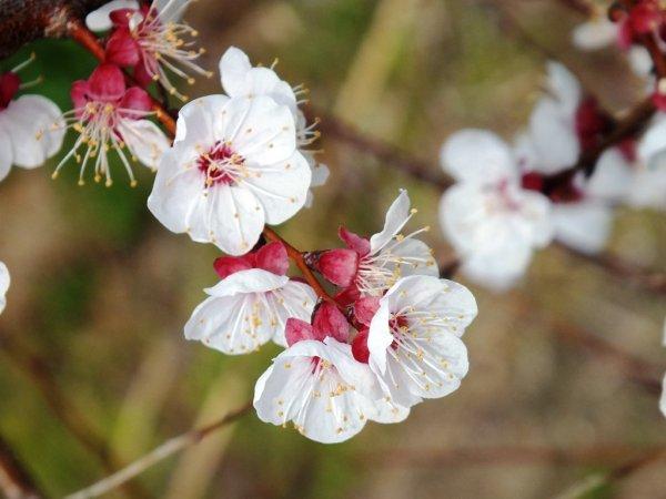 Sakura - March 24 2013