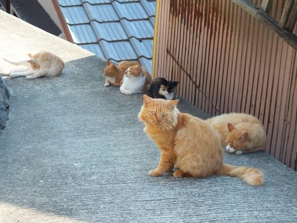 Ogijima Cats