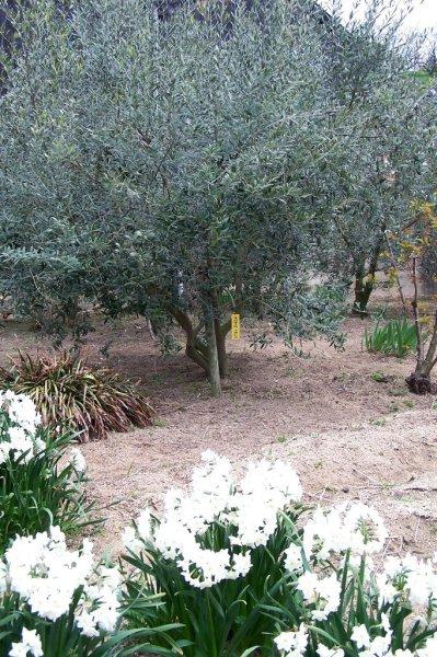 Regent in Olives - 1