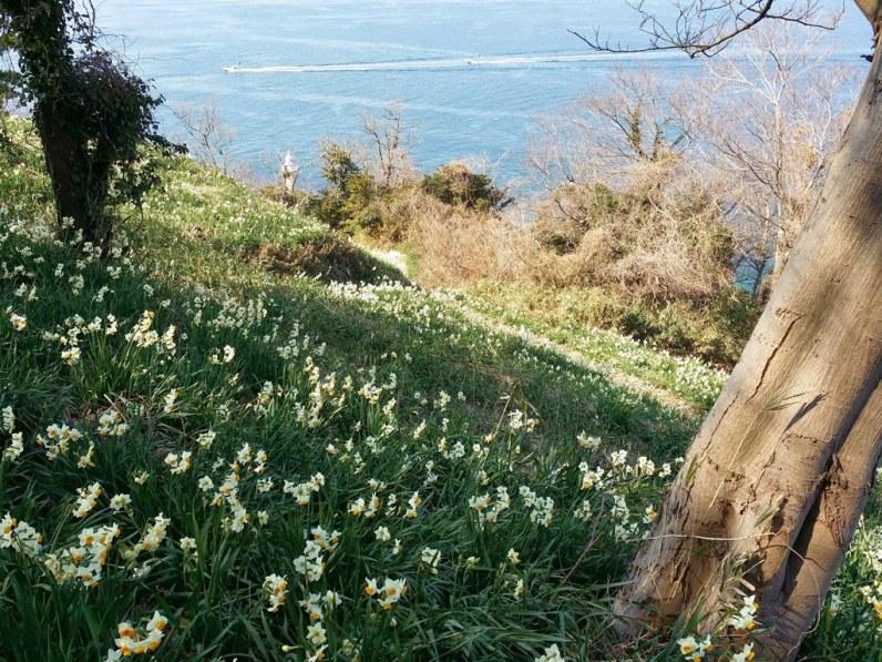 Ogijima Daffodils - 1