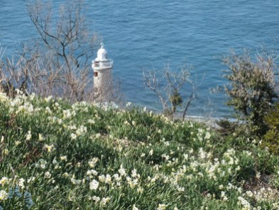 Ogijima Daffodils - 3