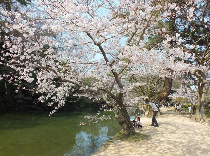 Cherry Blossoms in Ritsurin Garden - 2015 - 11