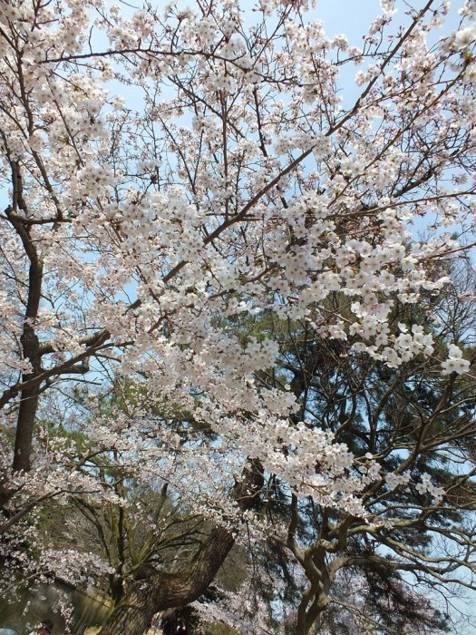 Cherry Blossoms in Ritsurin Garden - 2015 - 12