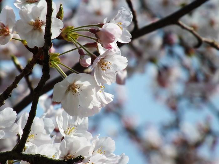 Cherry Blossoms in Ritsurin Garden - 2015 - 8