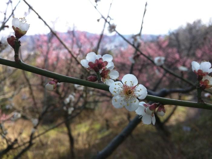 Spring is coming - Shikoku Mura - Plum Trees - 7