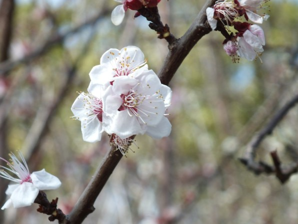 43 - First cherry blossoms of the year