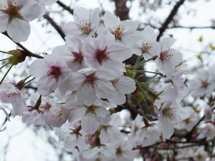 12 - Cherry Blossoms on Naoshima