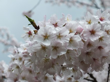 Cherry Blossoms at Kikaku Park 2017 - 18