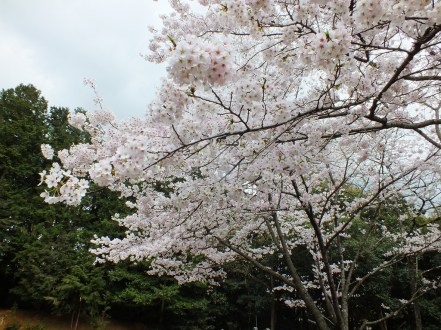 Cherry Blossoms at Kikaku Park 2017 - 19