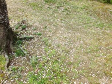 Cherry Blossoms at Kikaku Park 2017 - 23
