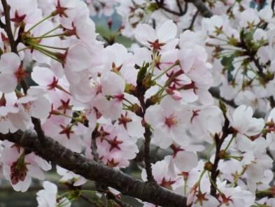 Cherry Blossoms at Kikaku Park 2017 - 27