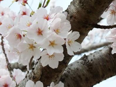 Cherry Blossoms at Kikaku Park 2017 - 4