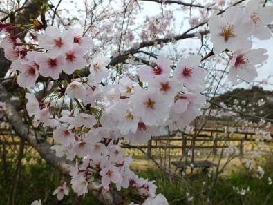 Cherry Blossoms at Kikaku Park 2017 - 7