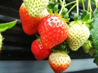 Picking and Eating Strawberries at Ichigoya Skyfarm in Takamatsu - 10
