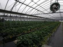 Picking and Eating Strawberries at Ichigoya Skyfarm in Takamatsu - 11