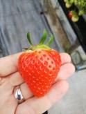 Picking and Eating Strawberries at Ichigoya Skyfarm in Takamatsu - 9