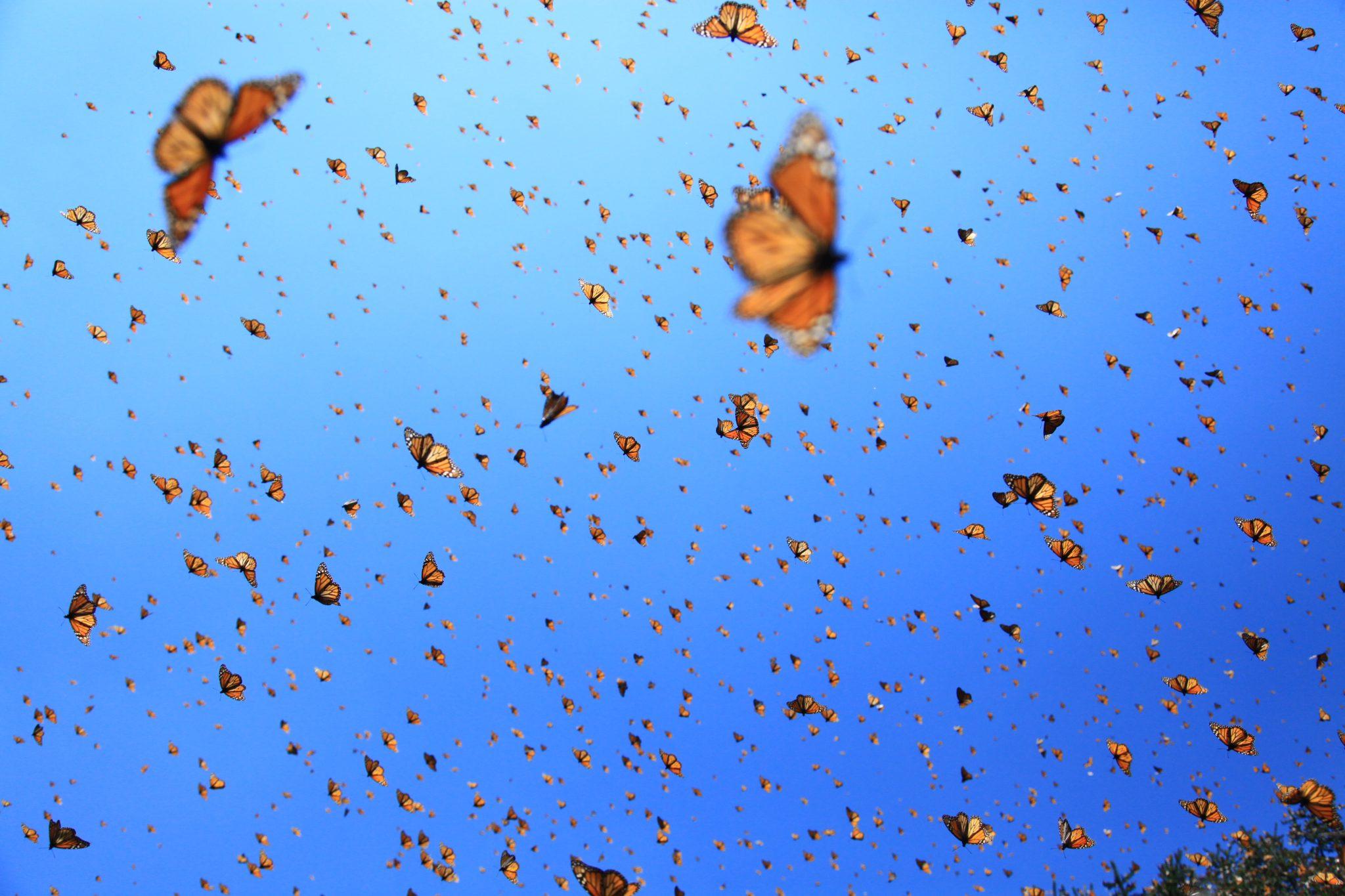 Mariposas-monarca-volando-@FMCN.jpg