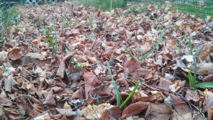 Early Sprouting Garlic