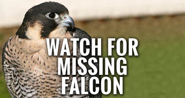 Scimitar, a Peregrine Falcon missing from the American Eagle Foundation