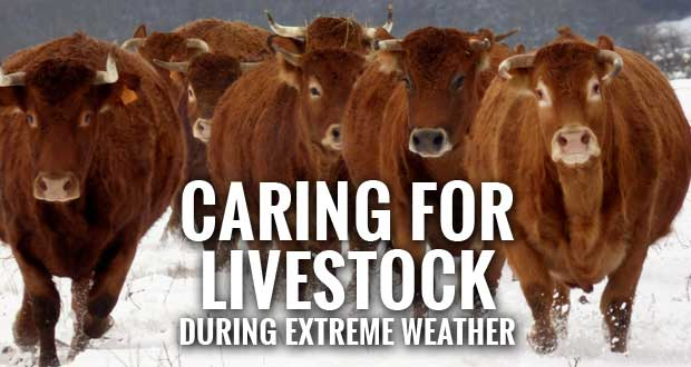 Extreme Winter Weather Can Impact Livestock