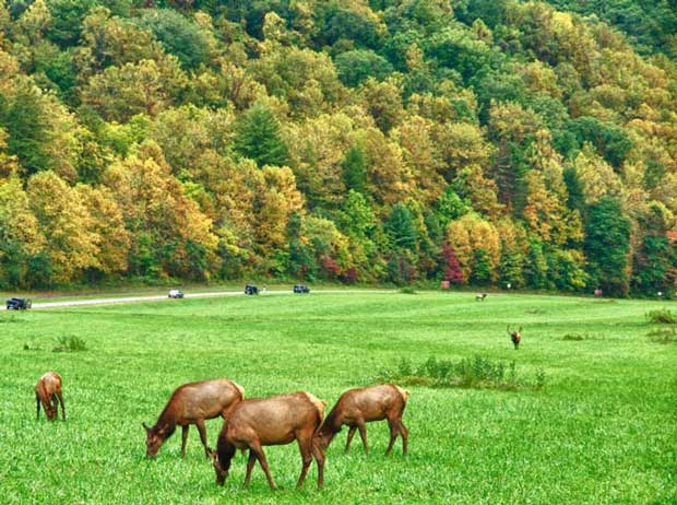Elk grazing in a field near Oconaluftee in Great Smoky Mountains National Park.