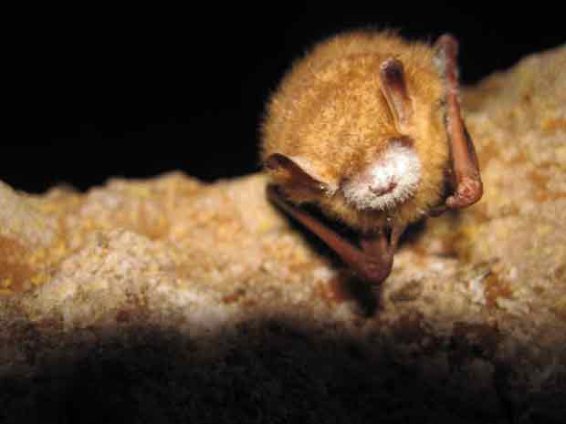 Tri-Colored Bat with White-Nose Syndrome (WNS)