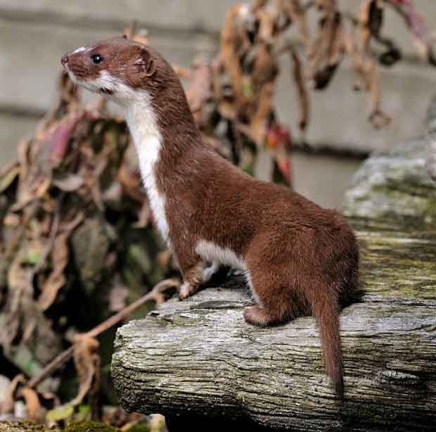 Cat Owners Asked to Help with Least Weasel Study